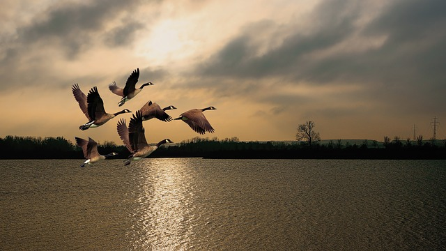 ガチョウ 水鳥 湖