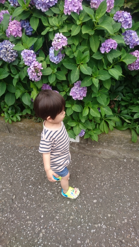 息子と紫陽花