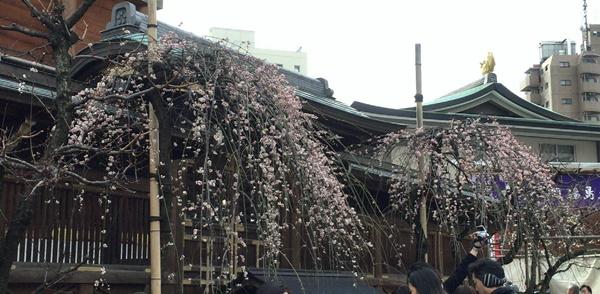 湯島天神梅まつりの梅