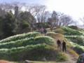 史跡保存会が育てている千早赤阪の水仙5万本