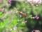 バッタと萩の花