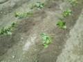 サツマイモのツルを植えつけました