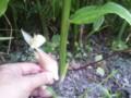 7/25ミョウガの花