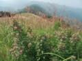 岩湧山頂のススキ、萩の花