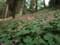 8下旬~9中旬が身頃、岩湧寺周辺にシュウカイドウが群生しています