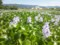 ホテイアオイが一面に咲いている