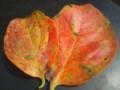 落葉病で他の葉より早く色づいた柿の葉