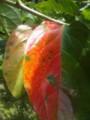 落葉病により真っ赤に色づいた下記の葉