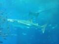 ジンベエザメ・美ら海水族館
