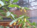 日本一大きな蝶・オオバコマダラのサナギは金色