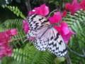 日本一大きな蝶・オオバコマダラ