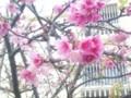 琉球桜(1月下旬から咲き出す)