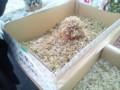 小女子(こうなご)イカナゴの稚魚