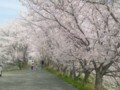 20140402桜並木(和歌山・粉河)