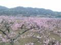 20140402あらかわの桃畑(紀ノ川市)