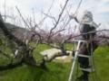 20140402桃の摘蕾作業(紀ノ川市)