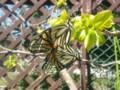20140417春の陽だまりで愛を育むアゲハたち