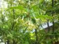 20140417グミの花、ミツバチがにぎやか