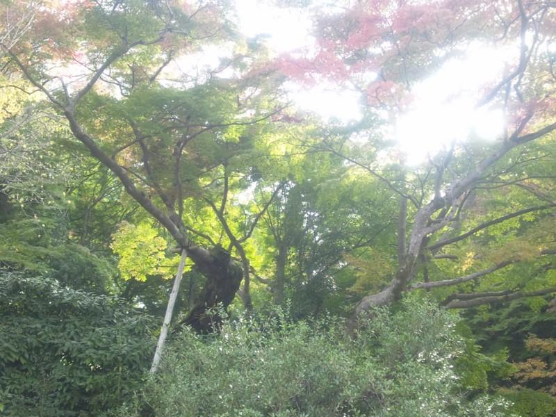 20141103 樹齢1000年夕照のもみじ(下から見た) 延命寺(河内長野市)