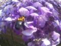 20150425 大きな蜜蜂がヤマフジの花に