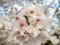 20170412 自宅近くの桜