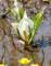 北国の春─ミズバショウ
