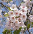津波で被災した川口神社の桜