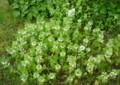 花盛りの「氷河期の森」─雨の日
