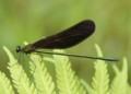 梅雨の羽黒蜻蛉