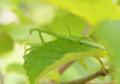 木陰に涼をとる小カマキリ(氷河期の森)
