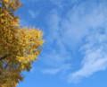 グイマツと空─晩秋の氷河期の森