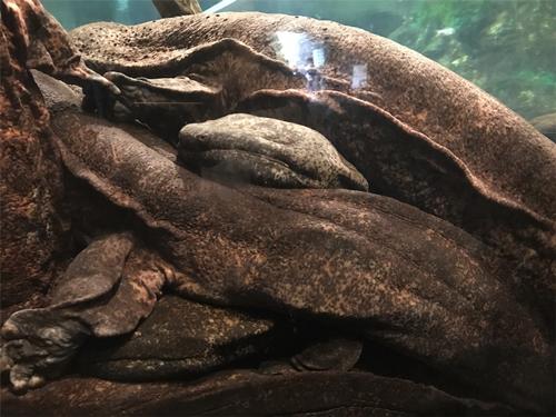 京都水族館 オオサンショウウオ