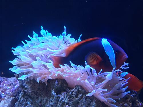 京都水族館 ハマクマノミ
