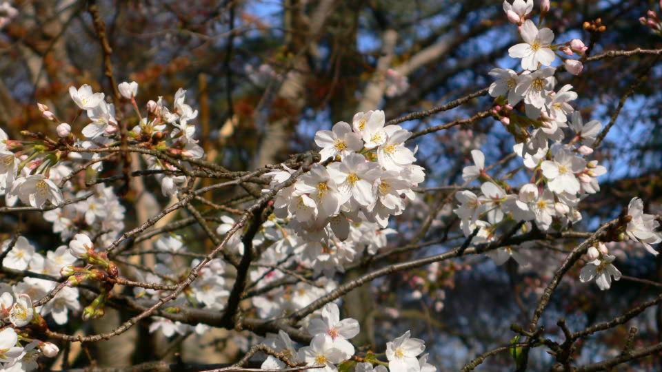 [新宿][新宿御苑][花][桜]