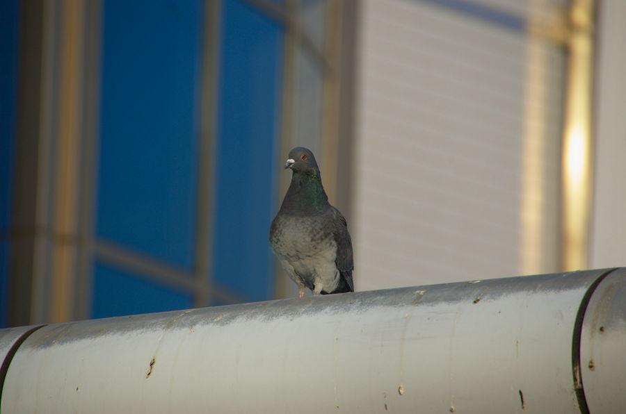 [鳩][鳥]