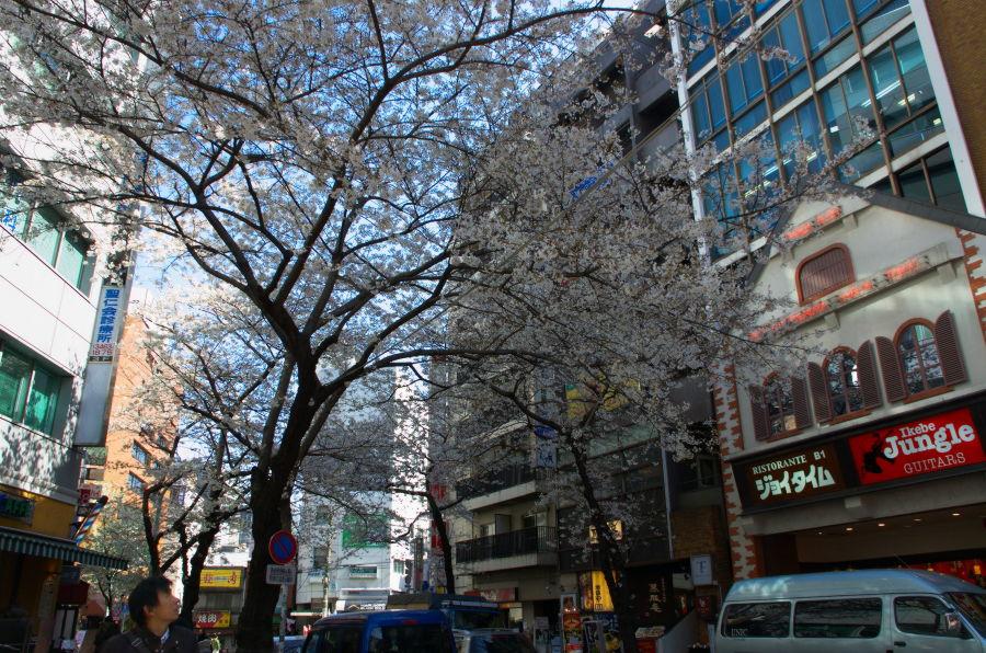 [渋谷][花][桜]