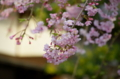 [東京][谷中霊園][花][桜]