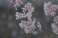 [横浜][花][桜]