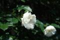 [横浜][花]