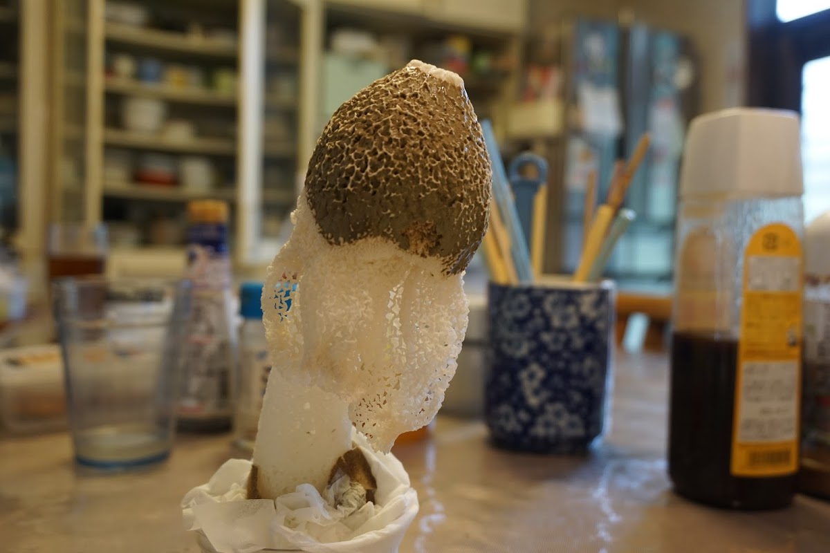 キヌガサタケの栽培キット