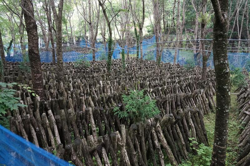 原木椎茸栽培の様子
