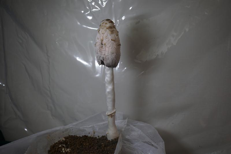 ササクレヒトヨタケが成長する様子