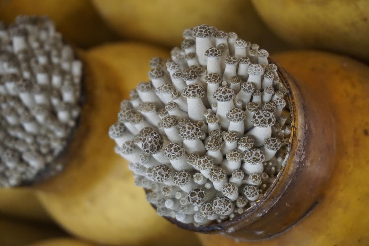 栽培中のぶなしめじ:幼菌