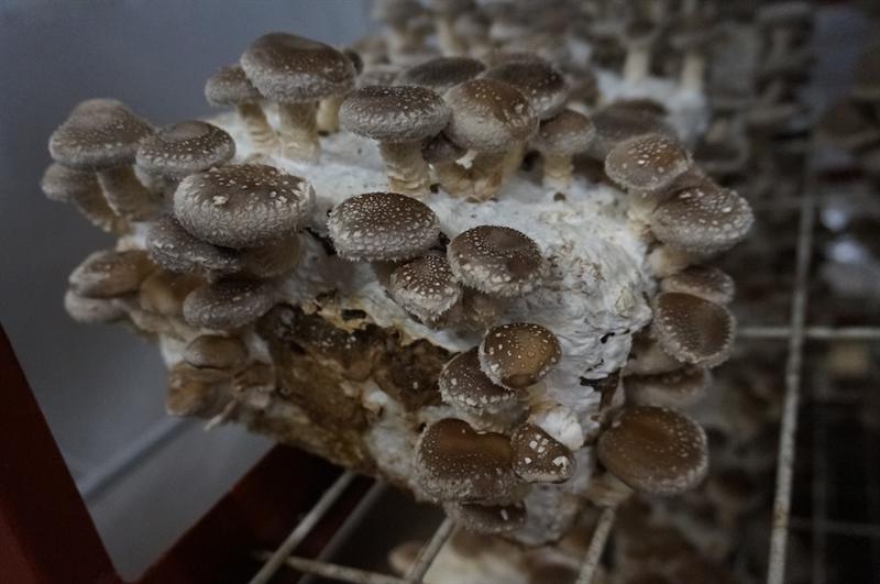 菌床椎茸栽培(きんしょうしいたけさいばい)