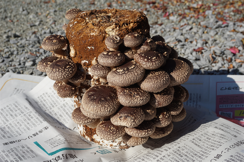 縦型円筒形の菌床ブロック