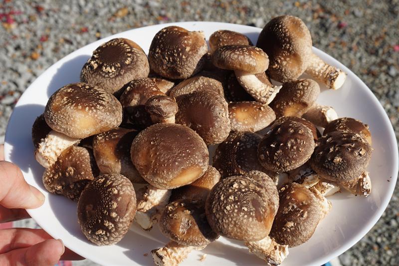 収穫した椎茸