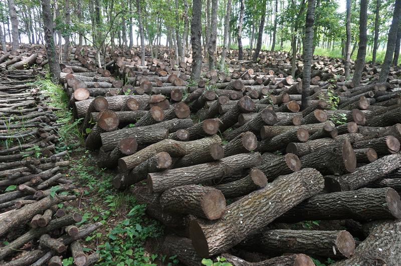 原木栽培:よろい伏せ