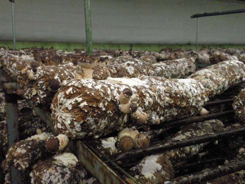 横型円筒形の菌床ブロック