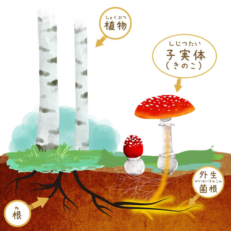 菌根菌と植物の関係