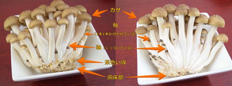 ブナシメジの構造